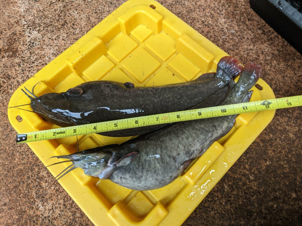 6 months after purchase, the catfish are 11 to 12-inches long.